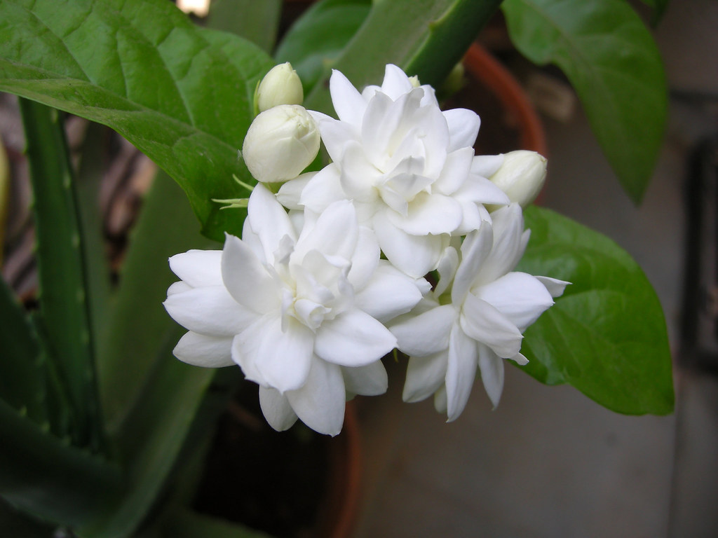 Mogara jasmine four common name arabian jasmine belle flickr mogara jasmine four by leena damle izmirmasajfo