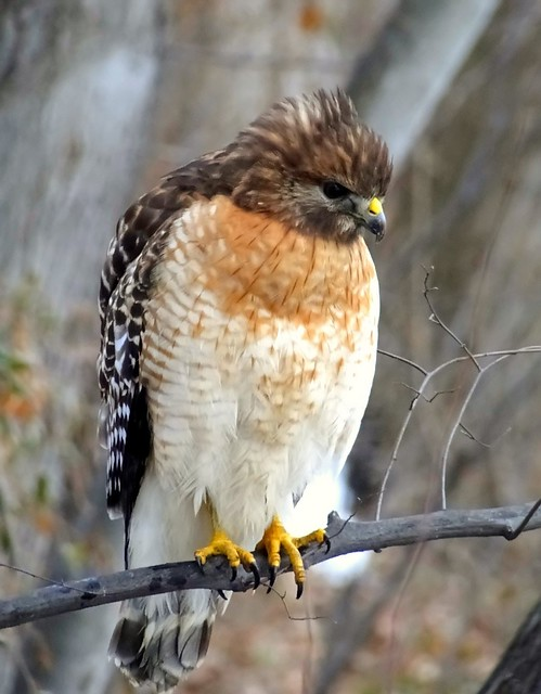 Eastern Red-shouldered Hawk