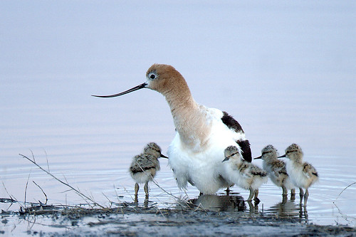 American Avocet & chicks on Malheur Refuge | by USFWS Headquarters