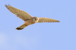 Kestrel (Falco tinnunculus) hovering in flight | by Roland Bogush