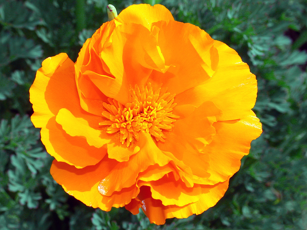 Double Golden Poppy C95 3 28 114039 Very Rare In A Fi Flickr