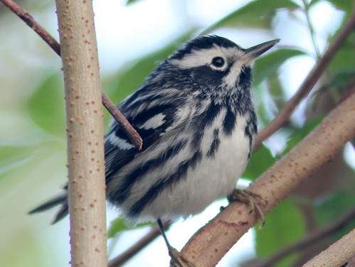 Black-and-White Warbler 20110406 | by Kenneth Cole Schneider