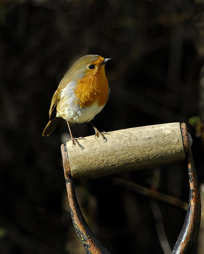 Classic Robin. | by Ian Snowdon - downtoearthimages.co.uk