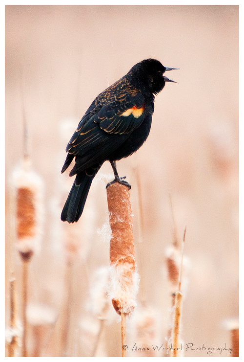 Spring Call | Red-windged Blackbird at Huntley Meadows Park,… | Anna
