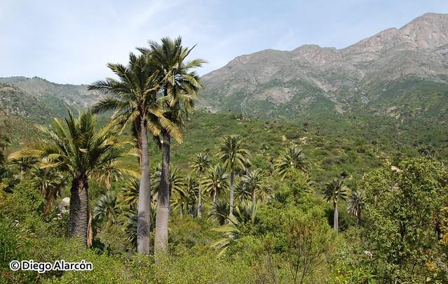 Jubaea chilensis en el Palmar de Ocoa