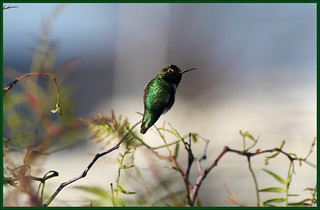 Hummer Bokeh | by LifeLover4