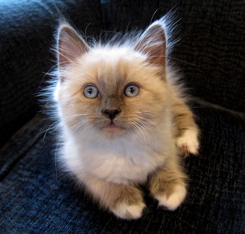 Ragdoll Kitten | by jurvetson