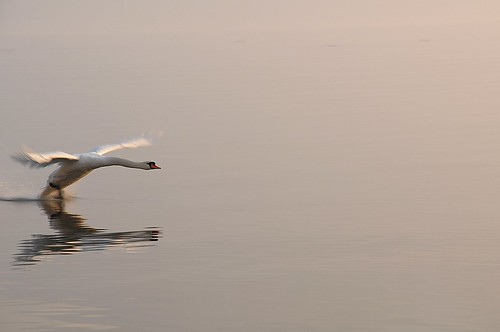 Cygne 1 | by Nirika