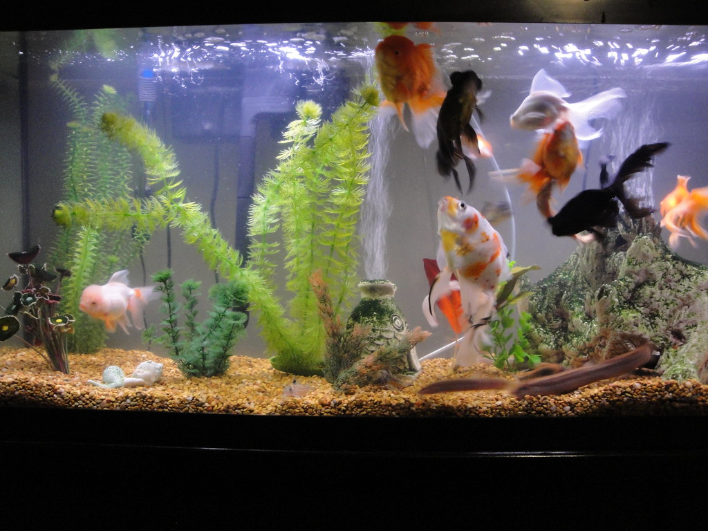 Fish in tank with goldfish -  My Goldfish Tank _55 Gal By Irisherlina