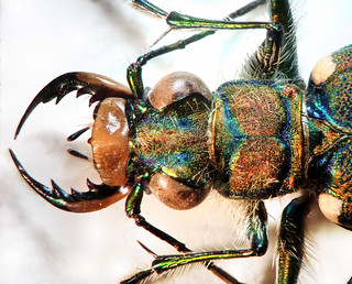 Tiger beetle (Cicindelinae). A detailed description of the beetle will be written within the next few days. | by leth.damgaard