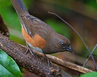 Female Eastern Towhee | by Robert Strickland