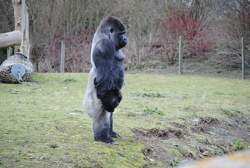 Ambam | by Howletts & Port Lympne Wild Animal Parks