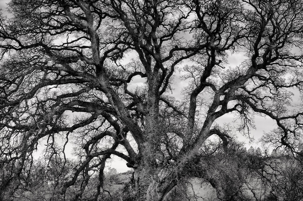Old Tree - Black and White