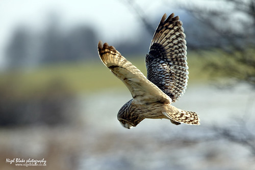 Short-eared Owl Asio flammeus | by Nigel Blake, 15 MILLION views! Many thanks!