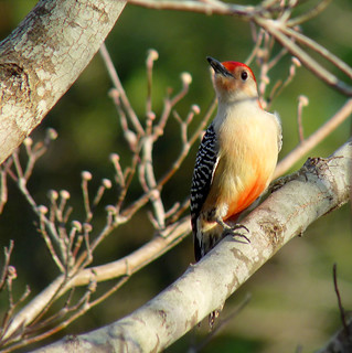 Red bellied woodpecker male | by Chickens in the Trees (vns2009)