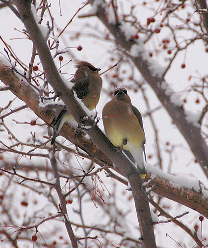 Cedar Waxwings | by Great Glen Trails