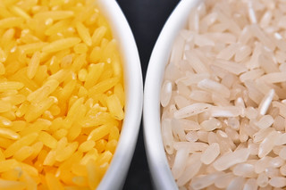 Golden Rice grain compared to white rice (2)-18 | by IRRI Images