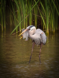 Great Blue Heron with fish | by judy_n