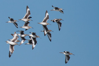 Willets in flight | by Tom Clifton