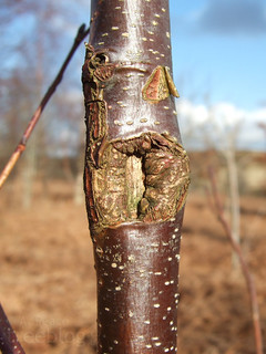 120211-grey-alder-2-wound | by treeblog