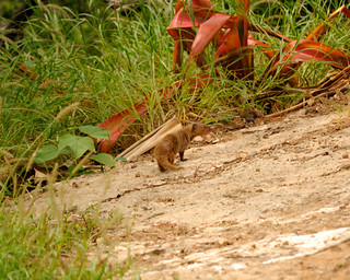 Scraggly Mongoose @ Diamond Head Park | by jdnx