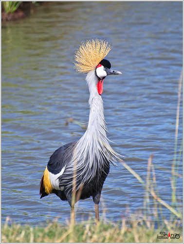 Grey Crowned Crane (Balearica regulorum) | by Shanz Photography (Back)