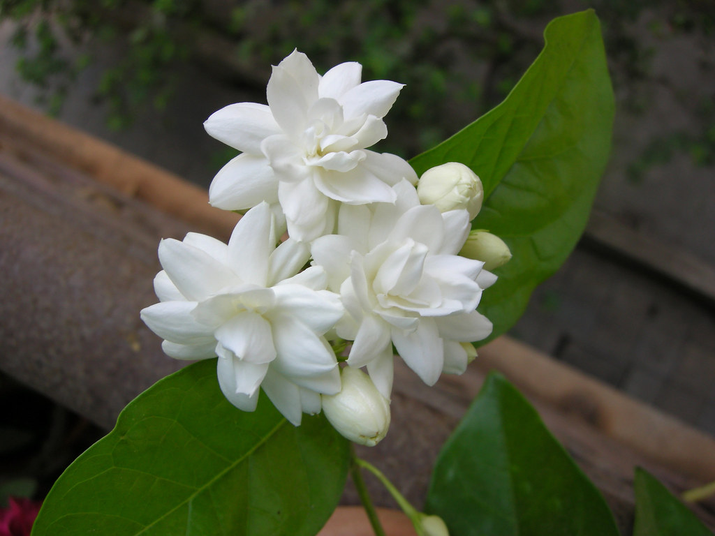 Mogara jasmine five common name arabian jasmine belle flickr mogara jasmine five by leena damle izmirmasajfo