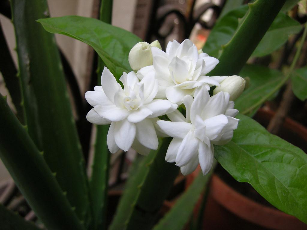 Mogara jasmine eight common name arabian jasmine belle flickr mogara jasmine eight by leena damle izmirmasajfo