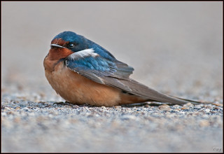 Barn Swallow Resting | by Roy Cohutta