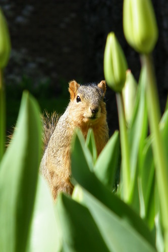 327/365/1057 (May 4, 2011) – Squirrels at the University of Michigan in Spring | by cseeman
