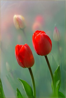 Spring Tulips . . . | by ilona912
