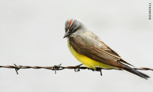 Western Kingbird | by Buddha's Ghost