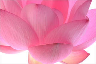 Lotus | by Bahman Farzad