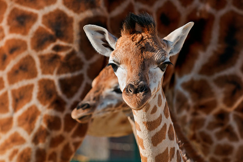 The two young giraffes | by Tambako the Jaguar