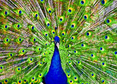 The Peacock Files | by .M*A*K. (OFF)