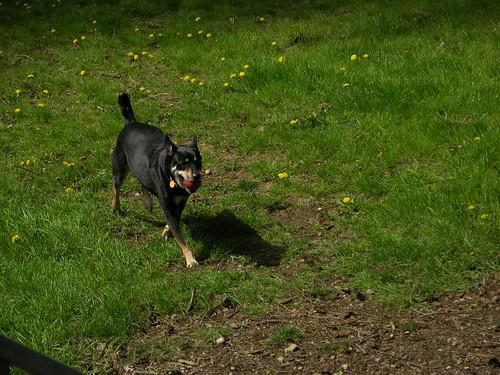 Dog Fetching Ball Video