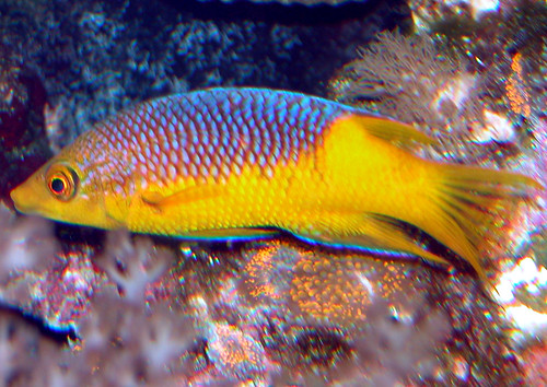 Spanish hogfish | by keywest aquarium