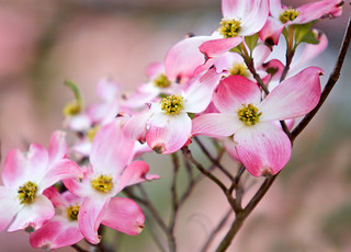 Pink dogwoods | by Mark Chandler Photography