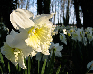 In Memory of Daffodils | by John Coveney Photos