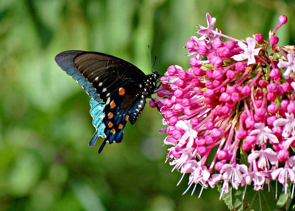 Pipevine Swallowtail and a Cashmere Bouquet | The Pipevine S… | Flickr