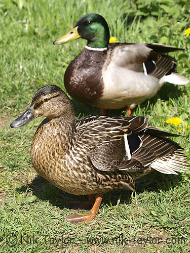 Male And Female Mallard Ducks Anas Platyrhynchos