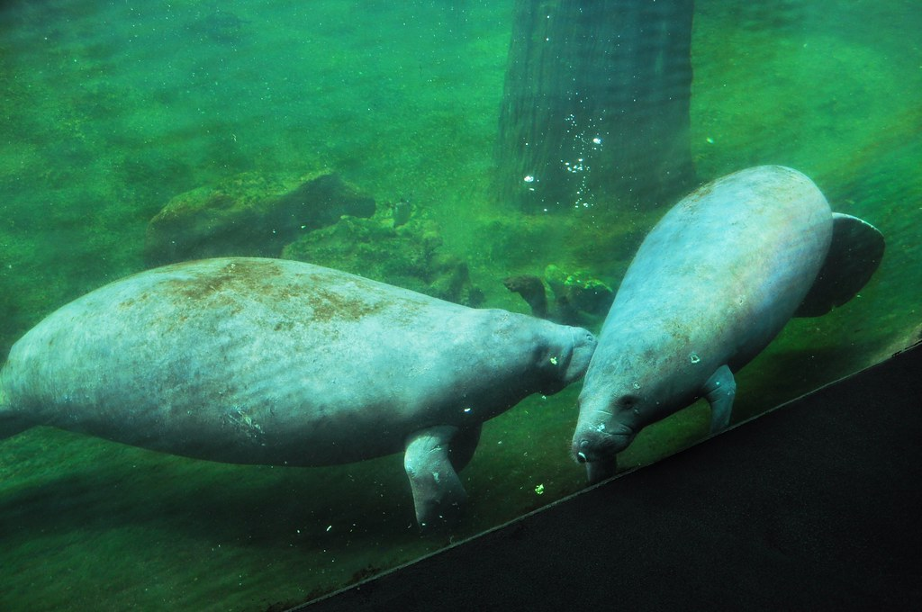Manatees, Lowry Park Zoo, Tampa, Fla., April 10, 2011