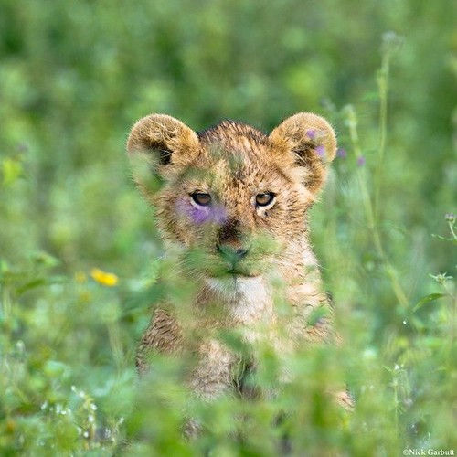 Lion cub amidst flowers and grass | by Panthera Cats