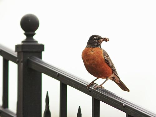 American Robin male 20140504