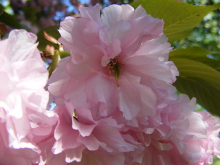 "Cherry blossom ""Kwanza"" close-up 