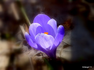 Purple Crocus | by Krittergirl