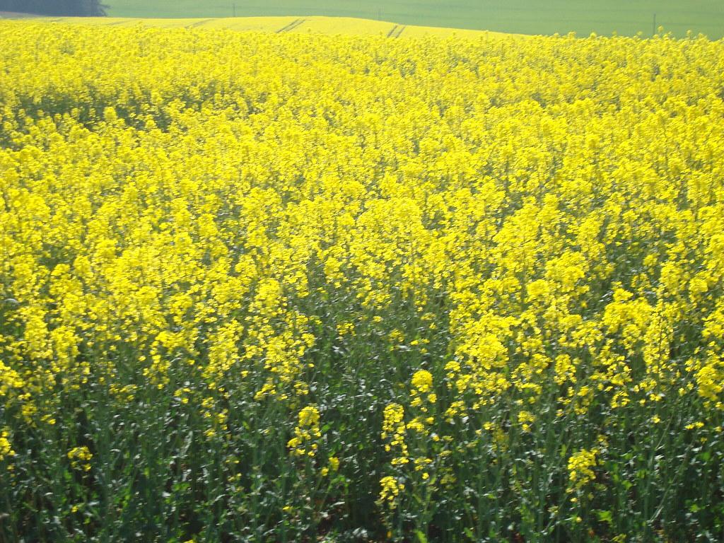 Yellow Flowers Field Scotland Yellow Flowers Field Scot Flickr