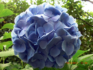 Hydrangea taken by BeeLing01 | by Linda & Anthony Ang