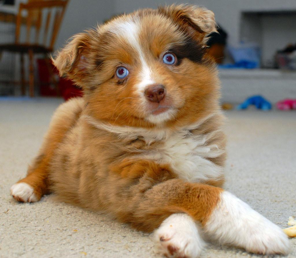Australian Shepherd Weight Chart: Morgan Van Pelt Australian Shepherd Puppy ed merle | Flickr,Chart