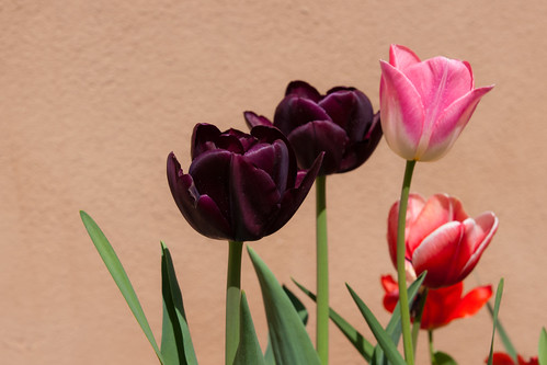 Spring Tulips | by LenDog64